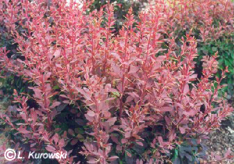 Orange Rocket Barberry in Winter http://kurowski.pl/en/katalog.php?action=3&roslina=368&nazwy=1