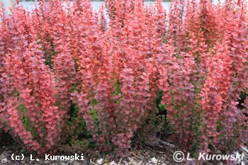 Orange Rocket Barberry in Winter http://kurowski.pl/de/katalog.php?action=3&roslina=573&zdjecieID=2&nazwy=1