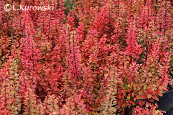 Berberis thunbergii 'Powwow'