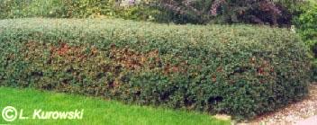Cotoneaster x Ursynów