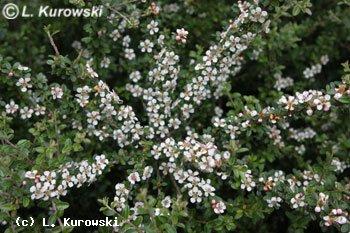 Cotoneaster suecicus (dammeri) 'Coral Beauty'