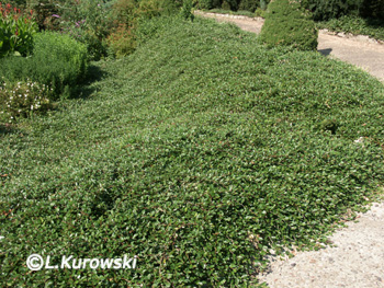 Cotoneaster dammerii 'Major'