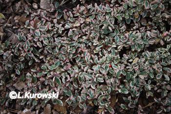 Cotoneaster suecicus 'Juliette'