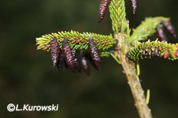 Picea orientalis 'Summergold'