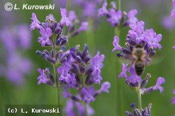 http://images.kurowski.pl/foto/Lavandula_angustifolia_DwarfBlue_1_p2.jpg