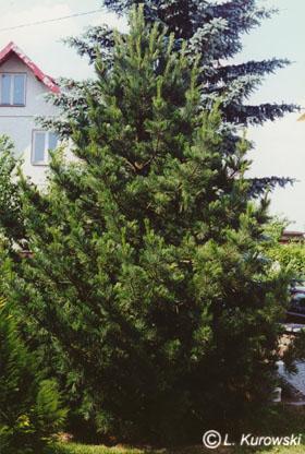 Pinus 'Sibirica' (P.c. 'Sibirica')