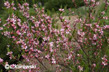 Prunus tenella