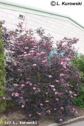 30ca45fe2e74 KUROWSCY - Sambucus nigra  Black Beauty  -
