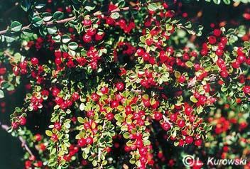 Cotoneaster perpusillus (horizontalis)