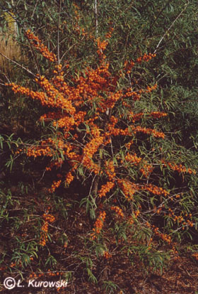 Hippophae rhamnoides 'Leikora'