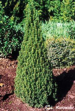Picea glauca Zuckerhut abete 50-60cm